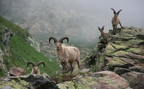 Picture animals, stones, Mountains, horns, goats