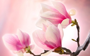 Picture tenderness, beauty, tenderness, branch, flowers, Magnolia, petals, Magnolia, beauty, pink, petals, pink, branch