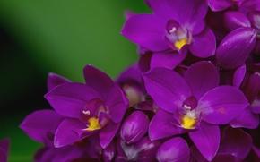 Wallpaper macro, petals, purple, Orchid