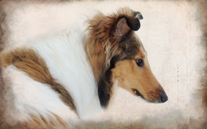 Picture style, background, dog, collie