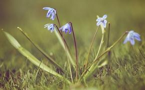 Wallpaper grass, macro, nature, spring, primrose, snowdrop, Scilla