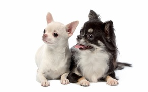 Picture puppies, Duo, Chihuahua, cute