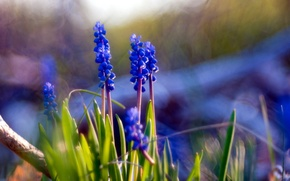 Picture flowers, nature, Muscari