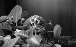 Picture black and white, violet, Flowers in pot