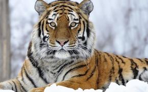 Picture winter, snow, predator, Tiger, big cat