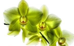 Picture petals, Phalaenopsis, lemon Orchid