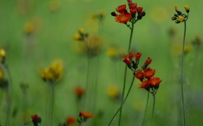 Wallpaper field, grass, flowers, plant, meadow