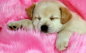 Picture pink, sleeping, Puppy, cute