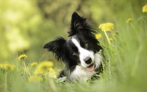 Picture look, face, flowers, dog, dandelions, bokeh, The border collie