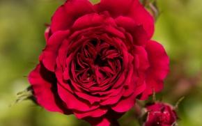 Wallpaper macro, background, rose, petals, red rose, buds