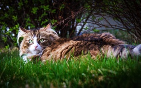 Picture cat, grass, look, shrub