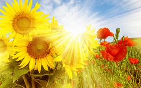 Picture field, sunflowers, flowers, nature, Maki, field, the sun's rays