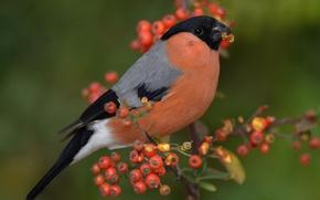 Picture berries, bird, branch, bullfinch, English