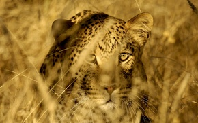 Picture cat, grass, eyes, face, stems, predator, leopard, Savannah, hunting, wild, hiding