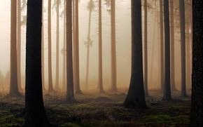 Picture forest, trees, fog, morning