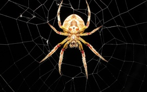 Wallpaper web, spider