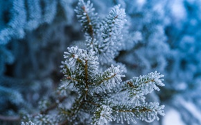 Picture winter, frost, forest, macro, snow, needles, branches, nature, tree, frost, Spruce, needles, bokeh
