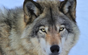 Picture eyes, face, grey, predator, Wolf