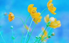 Picture Flowers, yellow, blue background, kosmeya