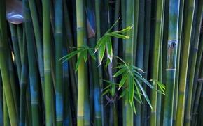 Wallpaper bamboo, plant, trunks