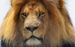 Wallpaper face, predator, Leo, mane