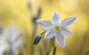 Picture macro, nature, petals, the star of Bethlehem