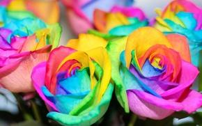 Wallpaper flowers, rainbow, flowers, colorful, roses, roses, colorful, rainbow