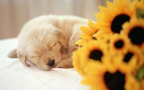 Picture sleep, sunflower, Puppy