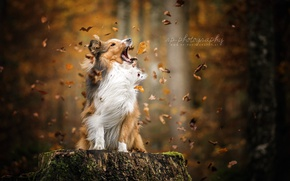 Picture autumn, leaves, dog