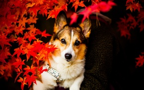 Picture look, leaves, dog