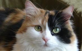 Picture cat, pussy, bogatka