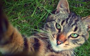 Picture cat, animals, grass