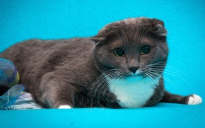 Picture cat, cat, grey, blue background, Scottish fold, Wallpaper from lolita777