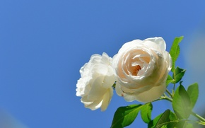 Wallpaper the sky, roses, background