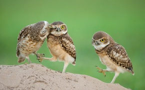 Picture eyes, Chicks, owlets
