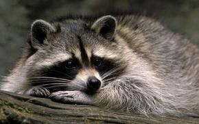 Picture macro, raccoon, animal