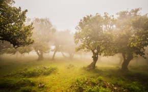 Picture greens, trees, fog, Garden, olives