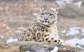 Picture look, uncia uncia, predator, IRBIS, snow leopard, snow leopard, face