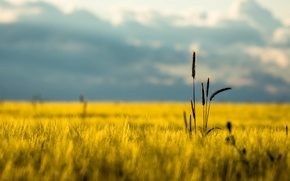 Picture field, summer, the sky, macro, nature, ear, spikelets, day, ears, nature