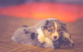 Picture dog, bokeh, dogs, puppies, australian shepherd, canine