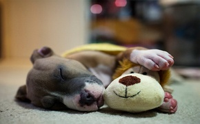 Picture stay, toy, sleep, dog