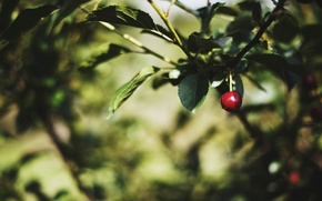Picture leaves, macro, trees, red, cherry, green, background, tree, widescreen, Wallpaper, blur, leaf, wallpaper, leaves, trees, …