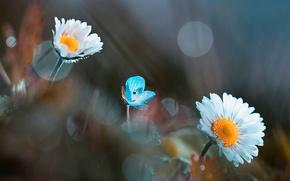 Picture background, chamomile, blur
