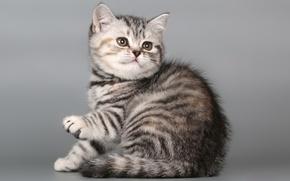 Picture cat, kitty, kitty, British Shorthair
