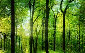 Picture greens, forest, summer, trees, the rays of the sun