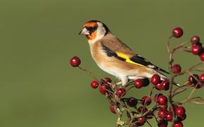Picture berries, bird, beak, tail