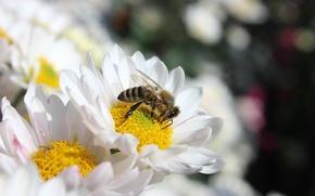 Picture flowers, nature, bee, chrysanthemum