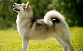 Picture dog, Laika, Alaskan Malamute
