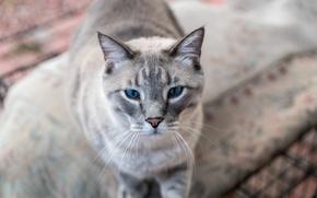 Picture eyes, cat, look, Koshak