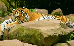 Wallpaper look, tiger, stones, lies, striped, baleen